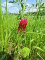 Trifolium-incarnatum-Salzburg, Flachgau, zwischen Gols und Viehhausen-2014-06-11-E-MK-24372b.jpg