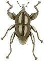 Trigonopterus augur holotype - ZooKeys-280-001-g012.jpg