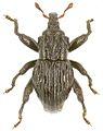 Trigonopterus strombosceroides holotype - ZooKeys-280-001-g084.jpg