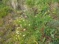 Tripleurospermum maritimum subsp inodorum plant4 (16190959148).jpg