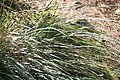 Tripsacum dactyloides var. floridanum 8zz.jpg