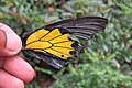 Troides minos - Southern Birdwing - part of male wing at Iritty (5).jpg