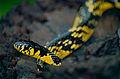 Tropical Rat Snake (Spilotes pullatus) (10347225554).jpg