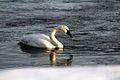 Trumpeter Swan (6711456543).jpg