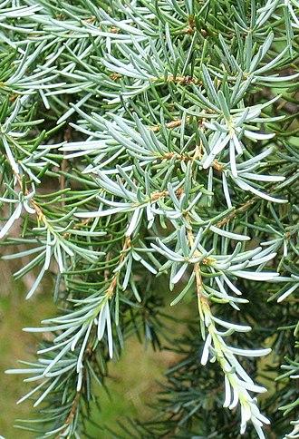 Tsuga mertensiana - Foliage of subsp. grandicona