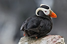 Tufted Puffin Alaska.jpg