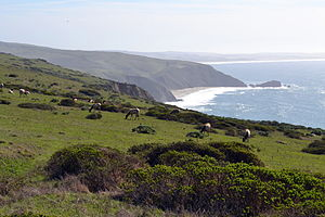 Point Reyes National Seashore -  Tule elk on Tomales Point trail, further North (the Pacific Ocean is on the right).