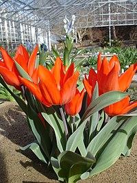 Tulipa praestans1UME