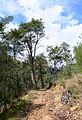 Turkish pine trees, Canyon Kapıkaya 04.jpg