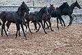 Turkmen Studfarm - Flickr - Kerri-Jo (49).jpg
