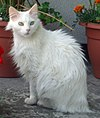 Turkse angora.jpg
