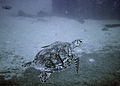 Turtle at Antilla Wreck Aruba (2915583707).jpg