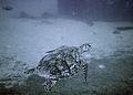 Turtle at Antilla Wreck Aruba (2915583707).jpg