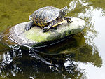 Turtle in pond.jpg