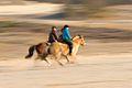 Twee galopperende paarden, in Loonse en Drunense Duinen.jpg
