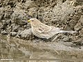 Twite (Carduelis flavirostris) (49029781732).jpg