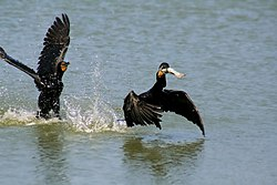 Two Phalacrocorax auritus and one fish edit.jpg