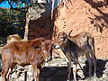 Typical rural calves of nepal.JPG