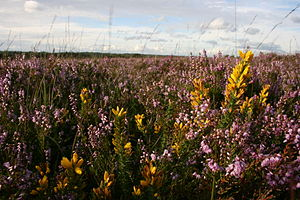 Ulex minor - Image: Ulex minor Calluna vulgaris New Forest