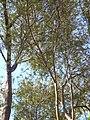 Ullastre del Parc Güell P1500845.jpg