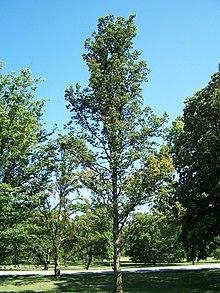 درخت اوجا یکی از گونه های نارون