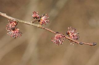 Brest hrabolistý - kvety
