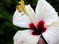 Unidentified hibiscus.jpg