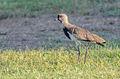 Unknown birds in Maracaibo, Venezuela 3.jpg