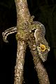 Uroplatus (fimbriatus?) (15721626789).jpg