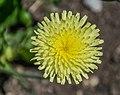 Urospermum dalechampii in Dunedin Botanic Garden 01.jpg