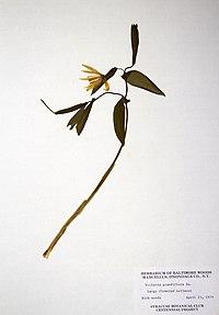 Uvularia grandiflora BW-1979-0423-0418.jpg
