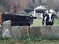 Vacas Damil, Begonte 2.jpg