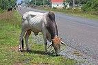Vacas en la carretera en Sihanoukville.jpg