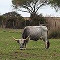 Vacca maremmana.jpg