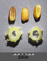 Valerianella carinata sl7.jpg