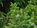 Vatroglavi kraljić (Regulus ignicapilla) Common Firecrest.jpg