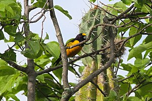 Magdalena Valley montane forests - The velvet-fronted euphonia (Euphonia concinna) is endemic.