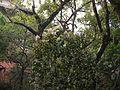 Vernonia arborea (5598475060).jpg