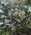 Vernonia arborea 09.JPG
