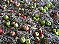 Verschiedene Apfelsorten.jpg