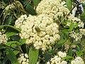 Viburnum rhytidophyllum+Cetonia aurata1.jpg
