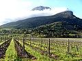Vignes palissées à Stellenbosch.jpg