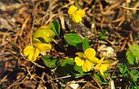 Viola orbiculata.jpg
