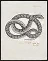 Vipera redii - 1700-1880 - Print - Iconographia Zoologica - Special Collections University of Amsterdam - UBA01 IZ11700181.tif