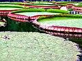 Vitória Régia - Jardim Botânico Plantarum.jpg