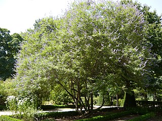 <i>Vitex agnus-castus</i> species of plant