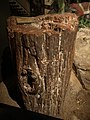 WLA hmns Section of petrified conifer trunk Arqucarioxylon arizonicum.jpg