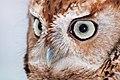 WR - Eastern Screech Owl 1 (5761432939).jpg