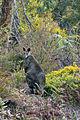 Wallabia bicolor (Swamp Wallaby) (4892763181).jpg