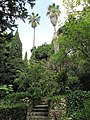 Washingtonia robusta (Serres de la Madone).jpg